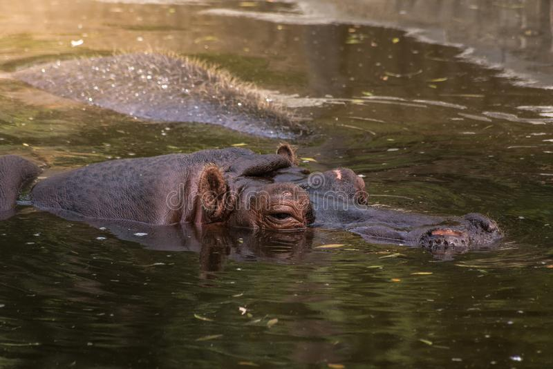 Submerged. Hippopotamus submerged in water in the Zoo of Madrid,Spain royalty free stock photo