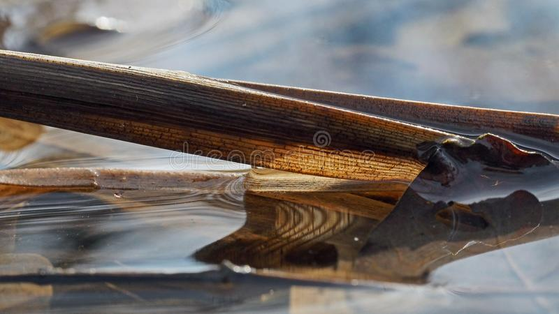 Submerged Reed. Partially submerged reed royalty free stock photos