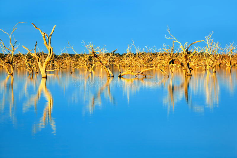 Submerged Trees. Trees submerged in man-made lake, in glorious sunset light. Menindee, outback New South Wales, Australia royalty free stock images