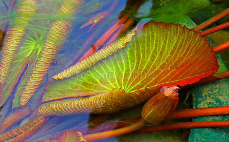 Submerged water lily leaves. Submerged colorful water lily pads in a tropical pond royalty free stock photos