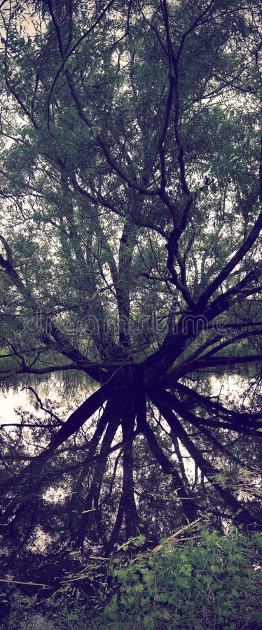 Submerged Willow Tree. Reflection of old willow tree submerged in water stock photo