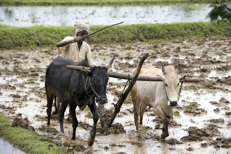 Subsistence Farmer - Tamil Nadu - India. Peasent subsistence farmer ploughing a paddy field in the Chettinad district of the Tamil Nadu region of southern India stock image