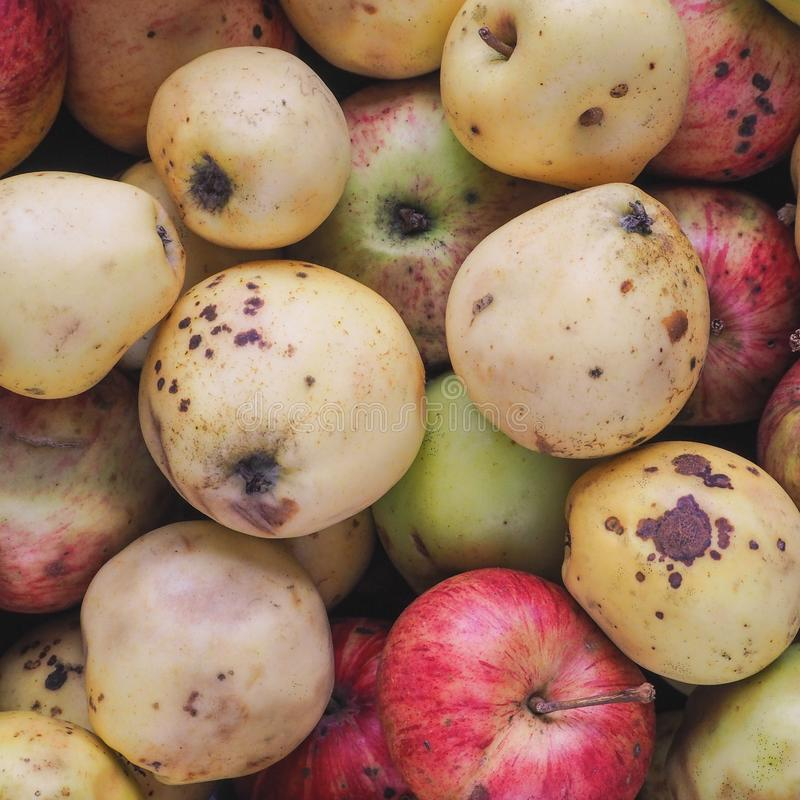 Substandard apples spoiled. Background from off wild apples. stock image