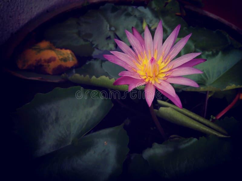 Subtile Farben eines schönen rosa Lotosblumen-Teichwasser-Blattes stockfotos