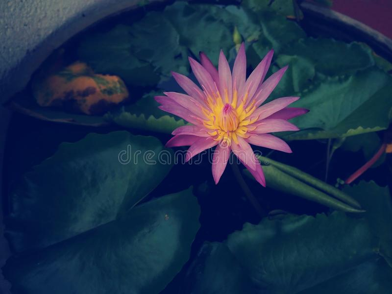 Subtile Farben eines sch?nen rosa Lotosblumen-Teichwasser-Blattes lizenzfreie stockfotos