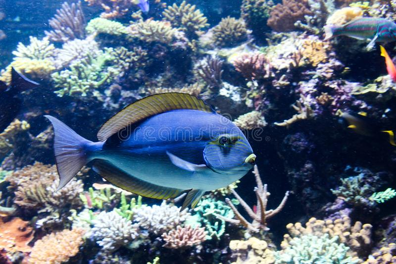 Subtle blues on salt water tropical fish with yellow fin edging. Blue with yellow lines on this salt water tropical fish in aquarium royalty free stock photos
