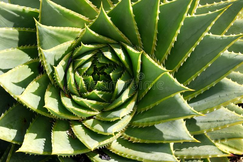 Subtropical garden: spiral aloe detail royalty free stock photos