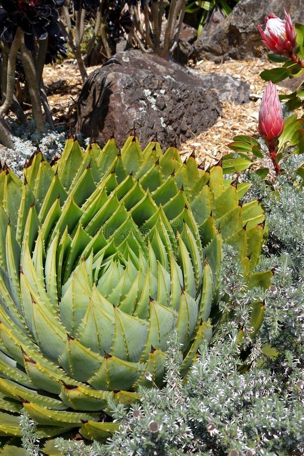 Subtropical garden: spiral aloe with proteas royalty free stock photos