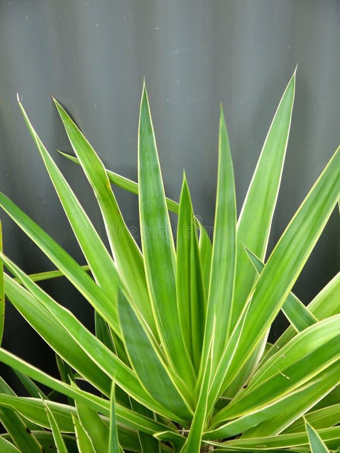 Subtropical garden: yucca leaves stock photo