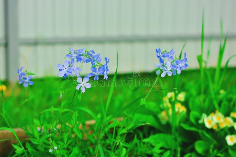 Subulata флокса зацветает со светлым - голубые цветки : Флокс - земная крышка, цветеня весной стоковые фото