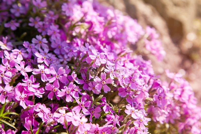 Subulata del polemonio del polemonio del arrastramiento o polemonio de musgo en macizo de flores fotografía de archivo