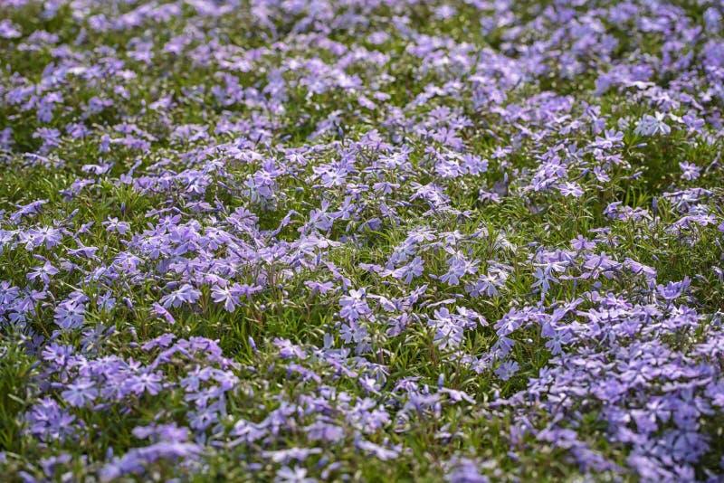 Subulata do flox, flox do rastejamento, flox de montanha As flores pequenas, cinco-petaled florescem no azul fotos de stock