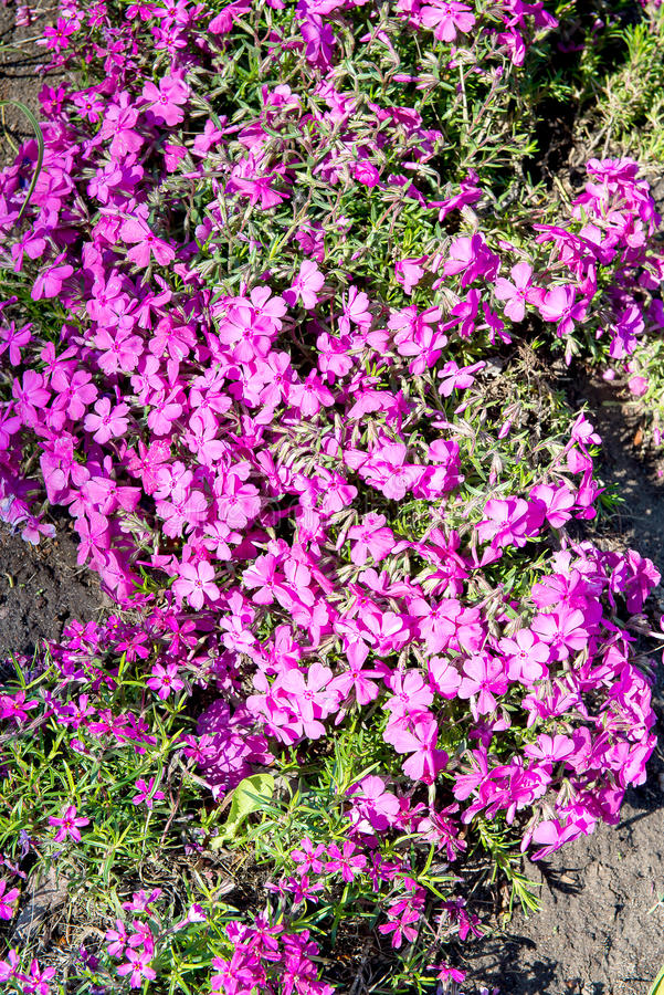Subulataen för floxen för mossafloxen eller bergfloxen som kryper floxen, mossarosa färger är det, en vintergrön perenn som bilda royaltyfri bild