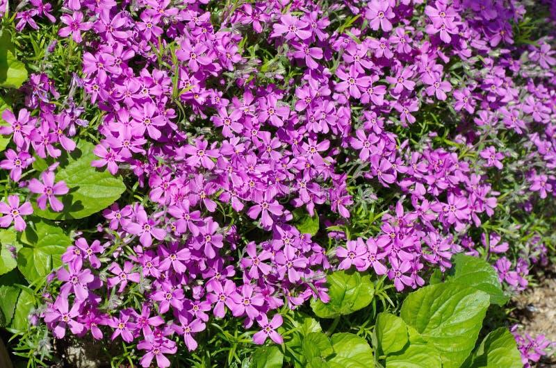 Subulate luminoso del flox dei fiori fotografie stock libere da diritti