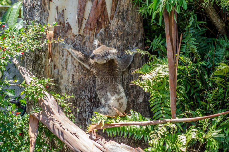 Suburban Koala royalty free stock photo