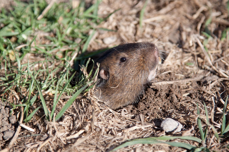Subversive in a hole. Vole leaves the protective ground stock image