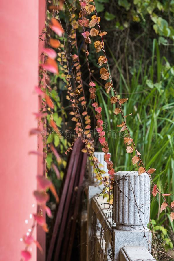Subvine et mur de vigne photographie stock