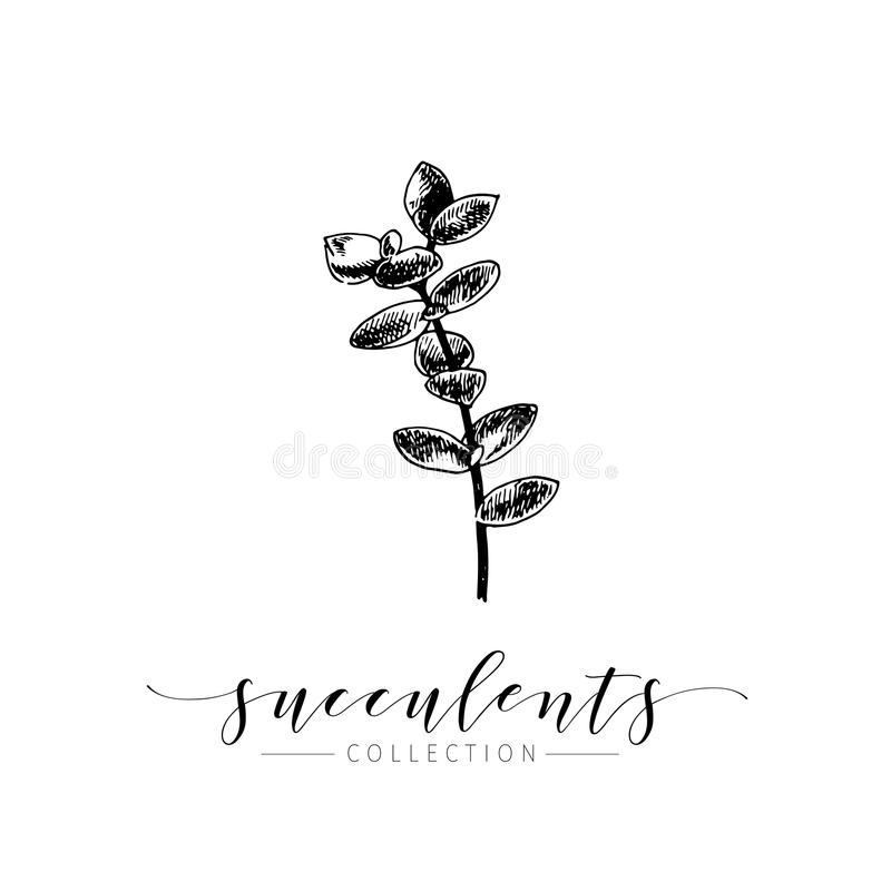Succculent vektor Räcka utdragen botanisk konst som isoleras på vit bakgrund Abstrakt blom- bakgrund royaltyfri illustrationer