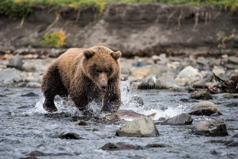 Successful. A grizzlybear is chasing for salmon stock images