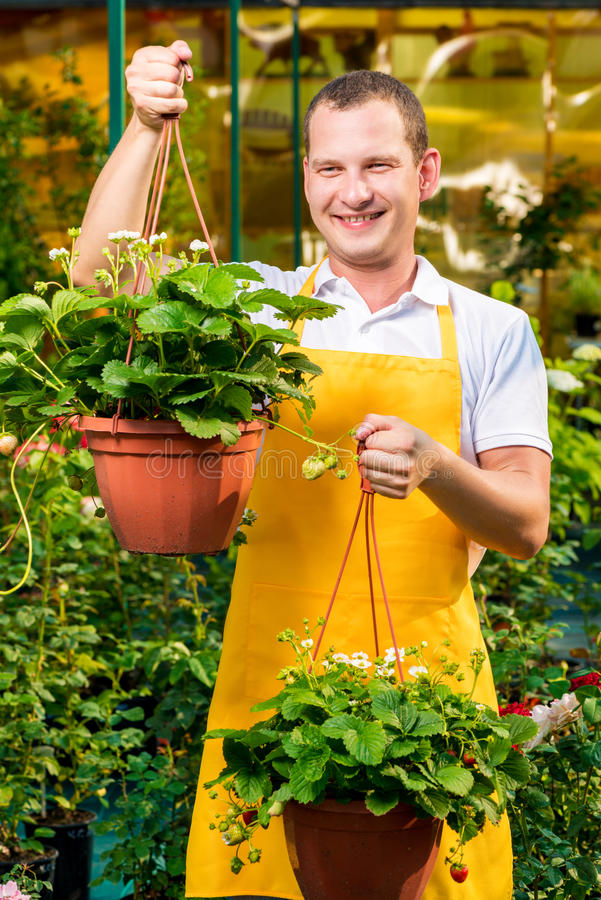 Successful male gardener with strawberries. In a greenhouse stock image