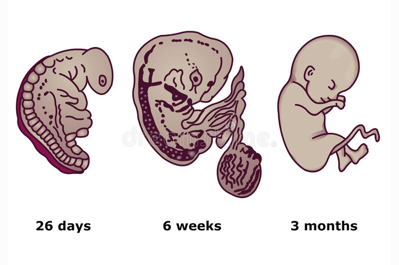 Download Successive Stages Of Human Embryonic Development Stock Image - Image: 28039649