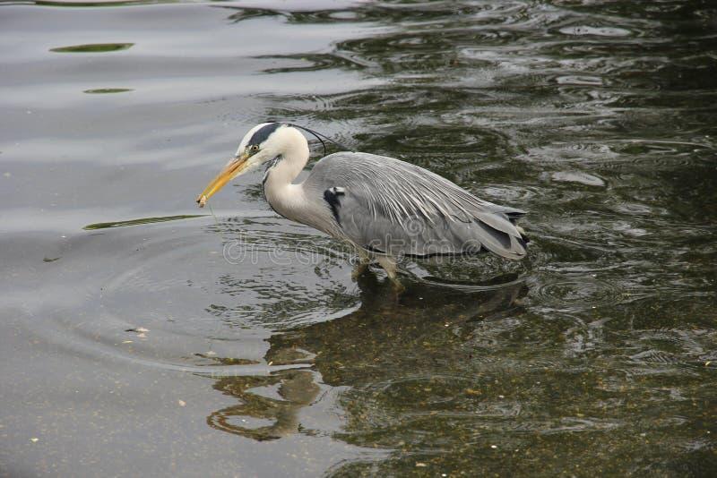 Successo di caccia di Grey Heron immagini stock