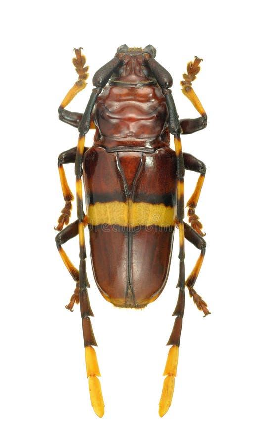 Succinctus de Trachyderes del escarabajo del Capricornio foto de archivo libre de regalías