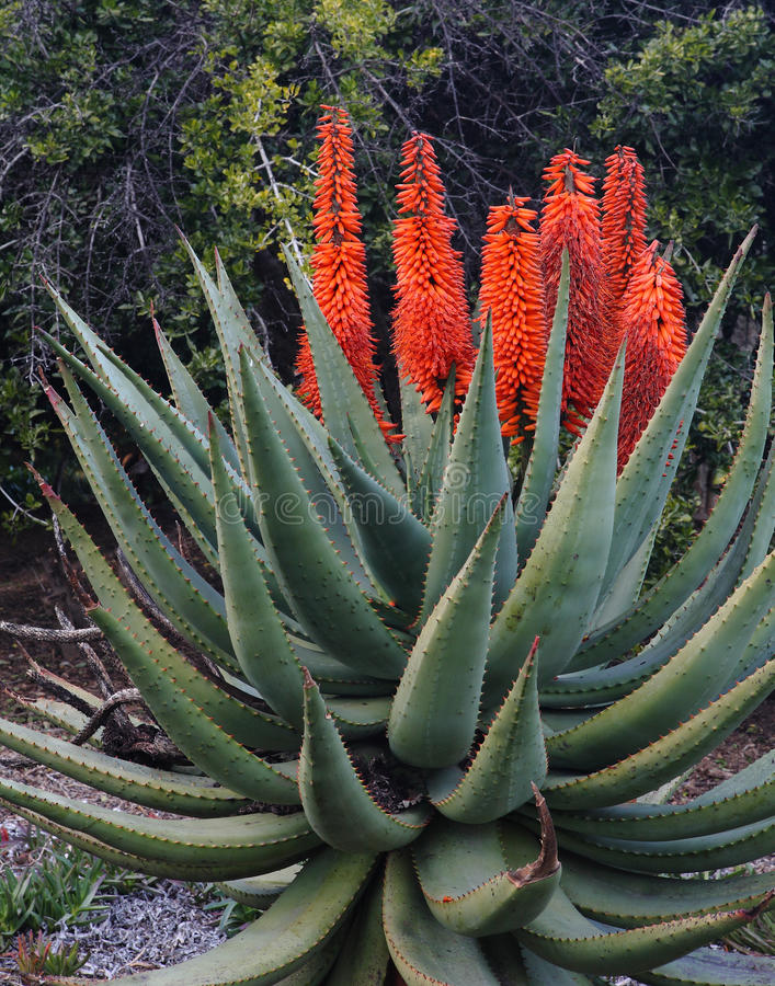 Succotrina del áloe - flores anaranjadas en el áloe Vera foto de archivo libre de regalías