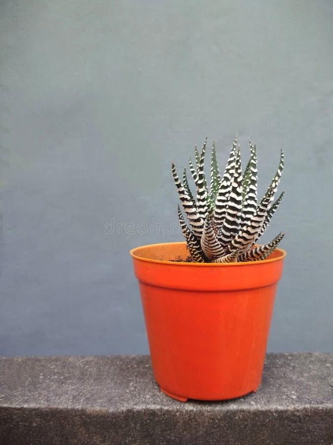 Succulant Plant in Orange Pot royalty free stock photos