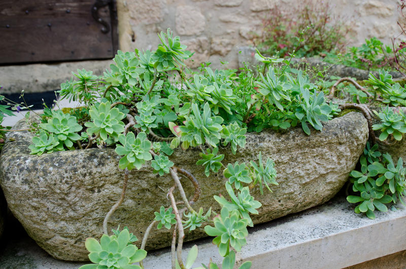 Succulant plant in a stone planter stock photo