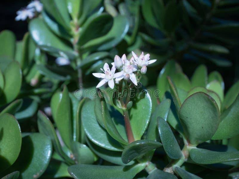 Succulen с цветком стоковые фотографии rf