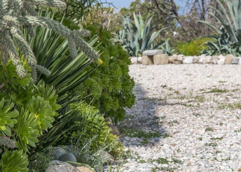 Succulent εγκαταστάσεις που αυξάνονται στον κήπο μια ηλιόλουστη ημέρα Όμορφοι Aeonium ή δέντρο houseleek και κάκτος Διάβαση πεζών στοκ εικόνες
