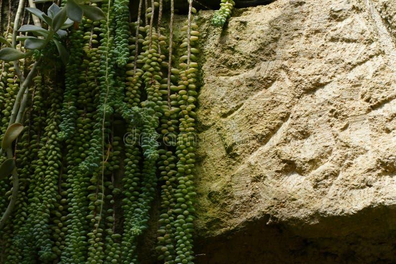 Succulent ένωση στο βράχο στοκ φωτογραφίες με δικαίωμα ελεύθερης χρήσης
