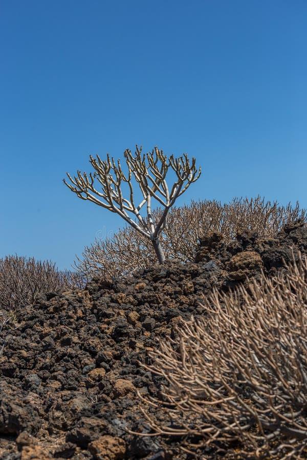 Succulent βλάστηση στην ηφαιστειακή περιοχή Tenerife του νησιού, καναρίνι, Ισπανία στοκ φωτογραφίες