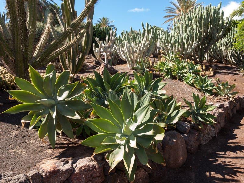 Succulent εγκαταστάσεις κάκτων στον κήπο στοκ εικόνα