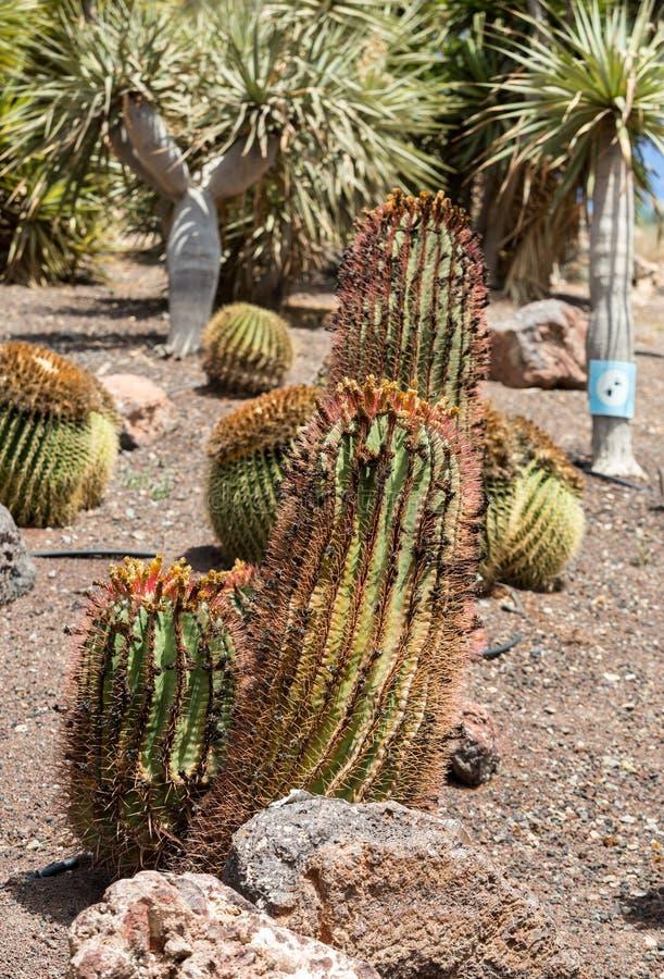 Succulent εγκαταστάσεις κάκτων στον κήπο στοκ εικόνα με δικαίωμα ελεύθερης χρήσης