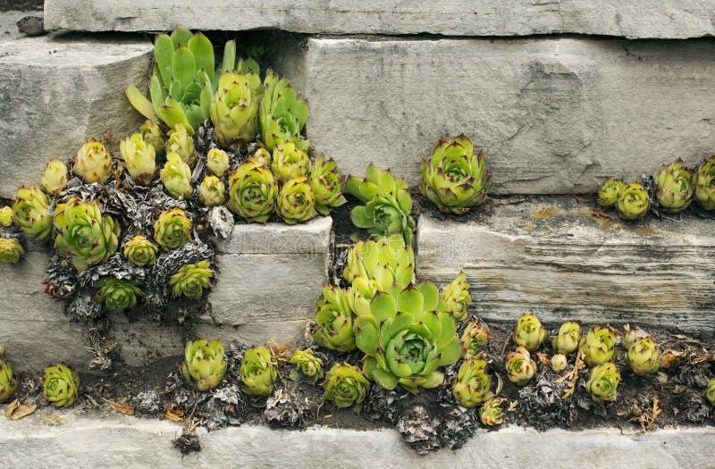 Succulent εγκαταστάσεις λουλουδιών στοκ εικόνες