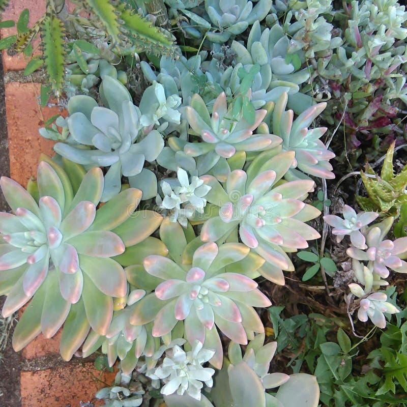 Succulent κήπος στοκ φωτογραφία με δικαίωμα ελεύθερης χρήσης