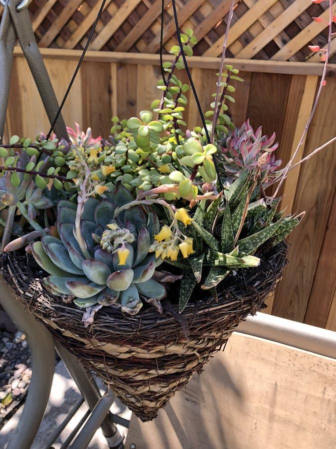 Succulent καλάθι στοκ φωτογραφία με δικαίωμα ελεύθερης χρήσης