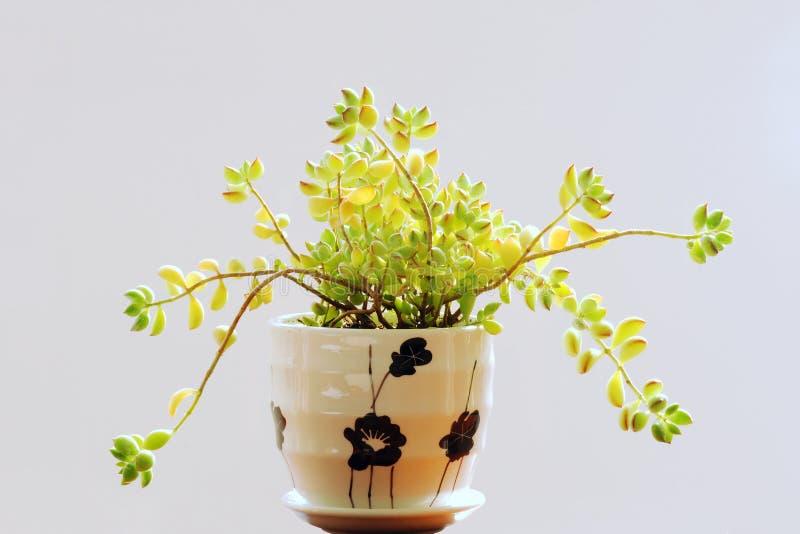 Succulent φυτό στοκ φωτογραφία με δικαίωμα ελεύθερης χρήσης