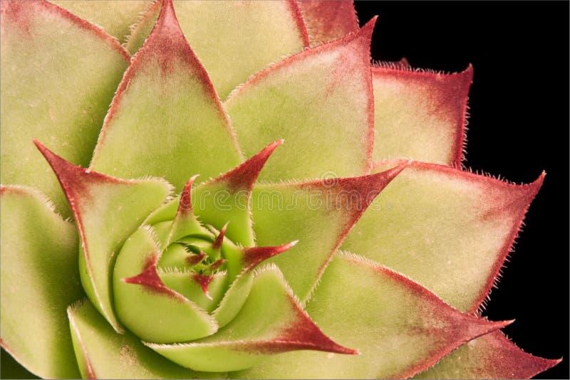 Succulent φυτό στοκ εικόνες με δικαίωμα ελεύθερης χρήσης