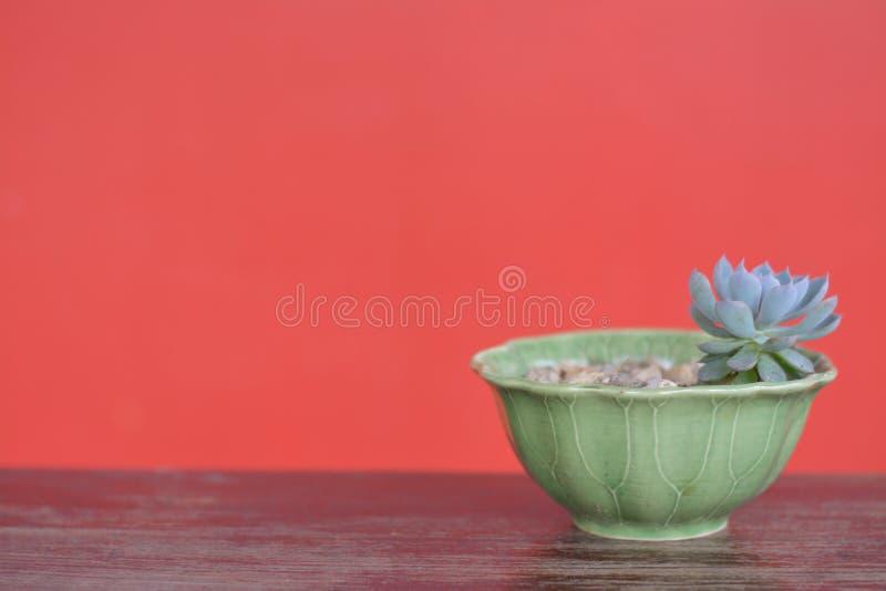 Succulent зеленого цвета с красной предпосылкой стоковое фото