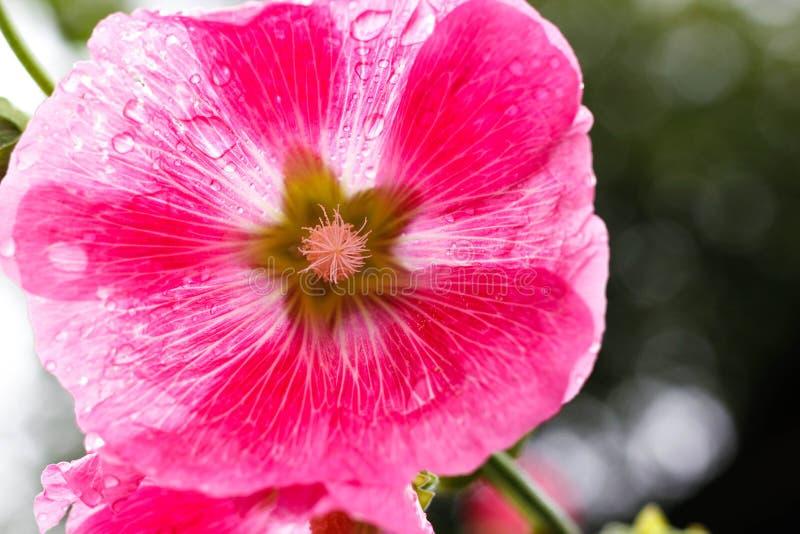succulent пинка цветка крупного плана Роса на цветке Падения после дождя closeup стоковое фото
