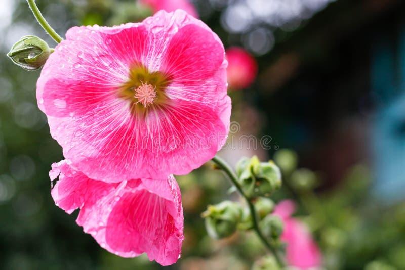 succulent пинка цветка крупного плана Роса на цветке Падения после дождя closeup стоковое изображение rf