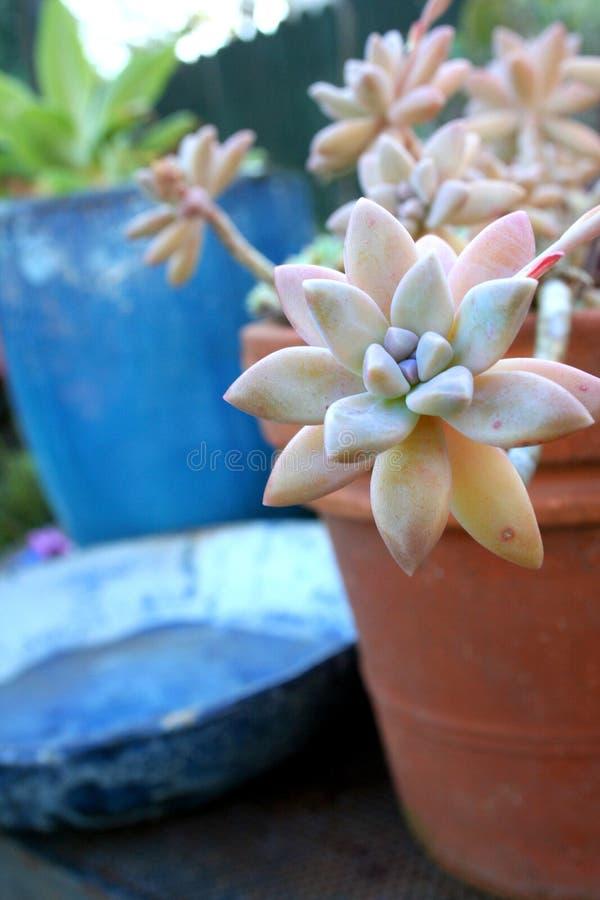 Succulent stock afbeeldingen