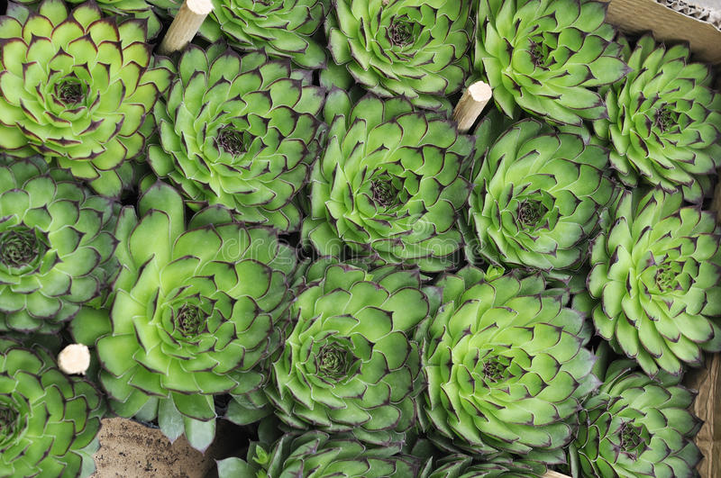 Download Succulent Stock Images - Image: 29531684