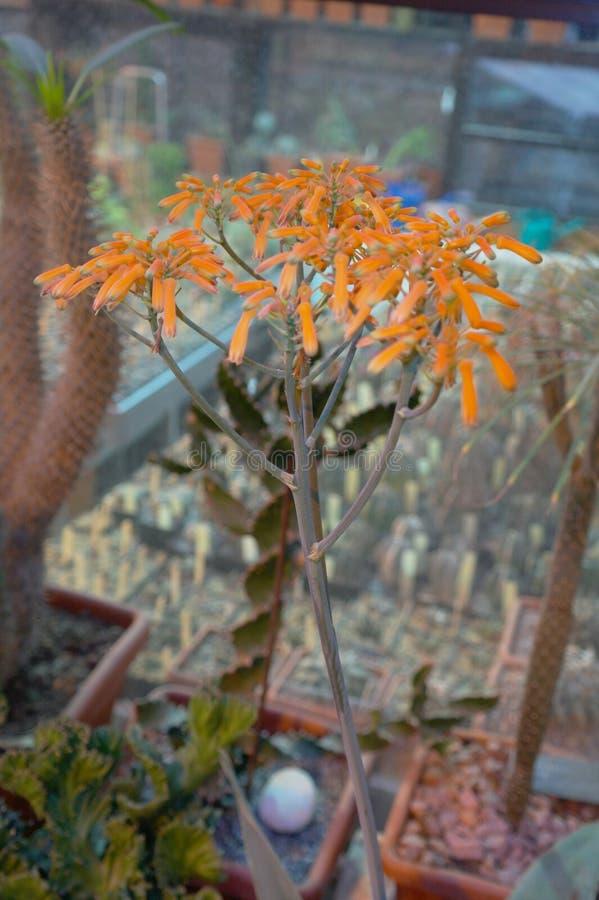 succulent royalty-vrije stock fotografie