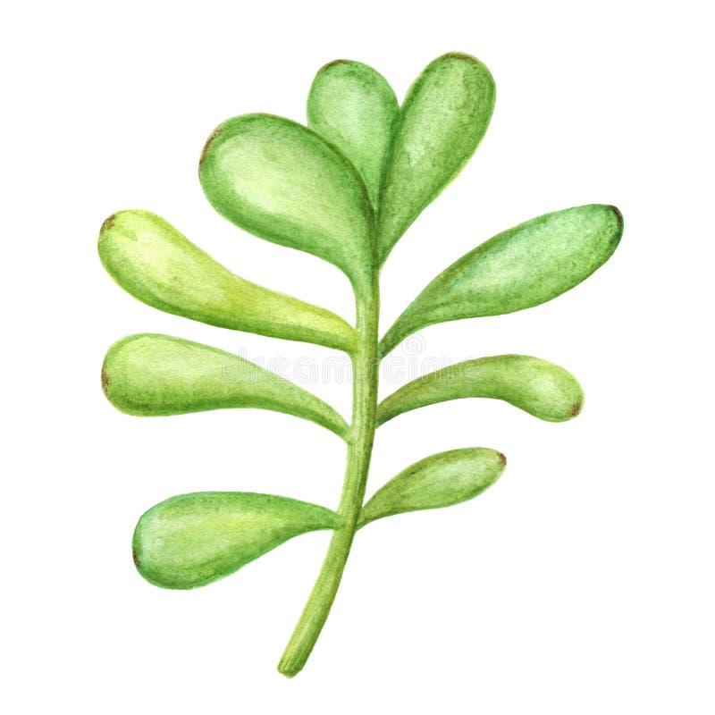 Succulent aislado en un fondo blanco Ejemplo dibujado mano de la acuarela Perfeccione para la tarjeta, casandose la invitación stock de ilustración