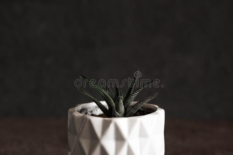 Succulent Aloe Vera Plant on White Pot Isolated on White Background.  royalty free stock photo