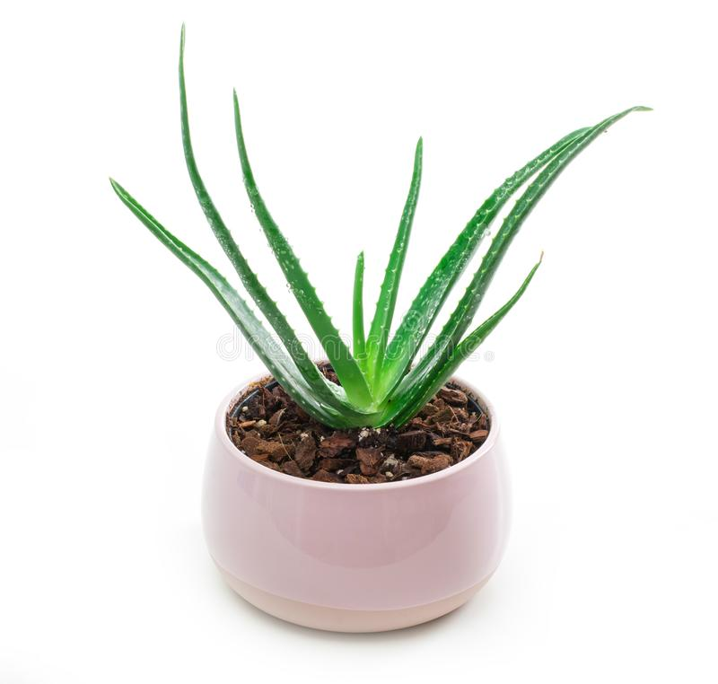 Succulent Aloe Vera Plant on White Pot  on White Background. A Succulent Aloe Vera Plant on White Pot  on White Background royalty free stock image